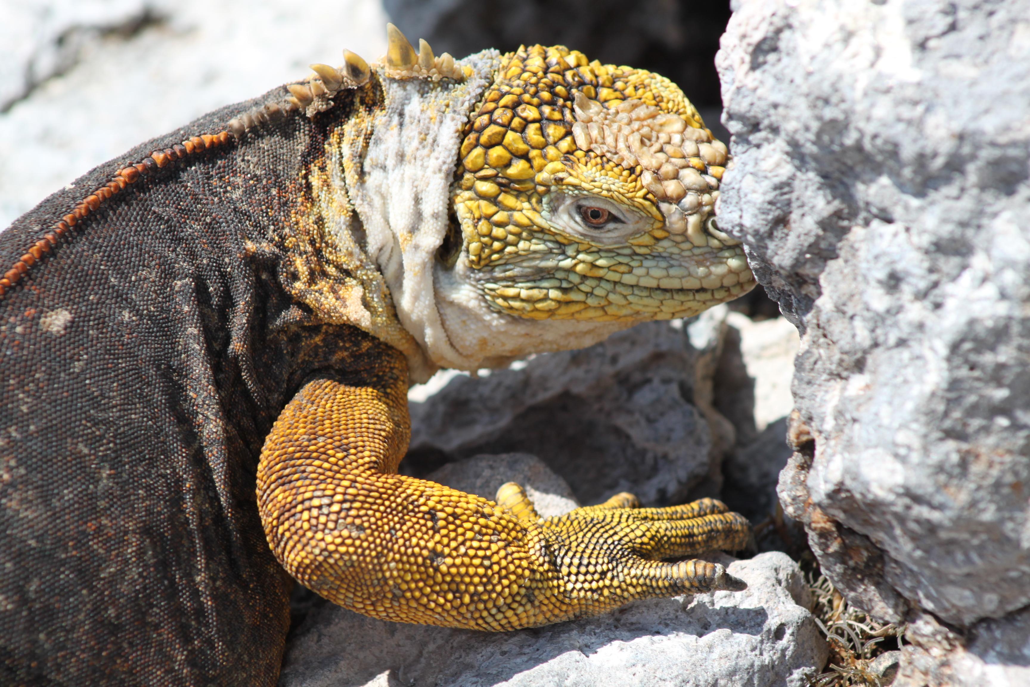 Marine-Iguanas_wfyx6p-1-