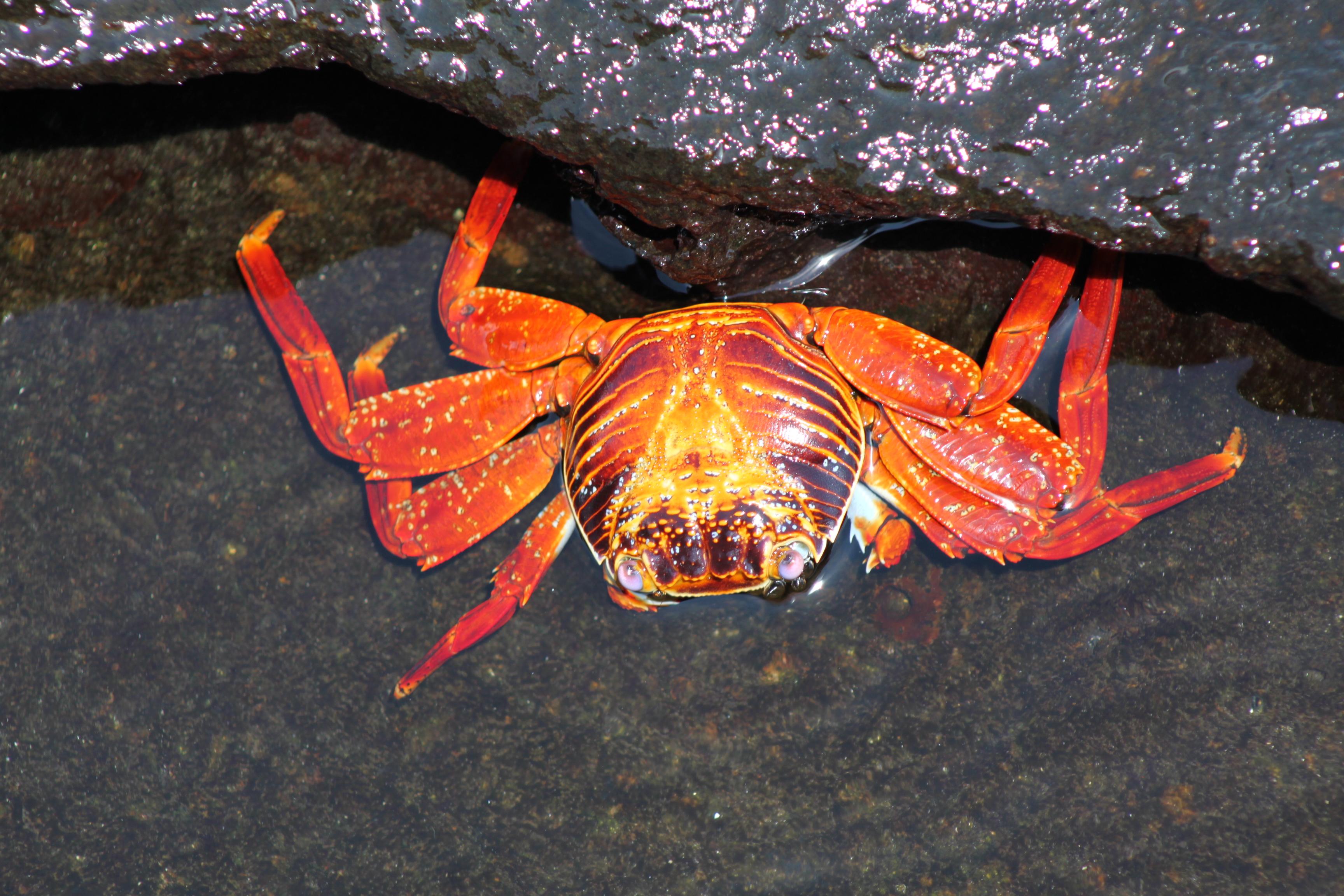 Sally-lightfoot-crabs_b9ohbw-1-