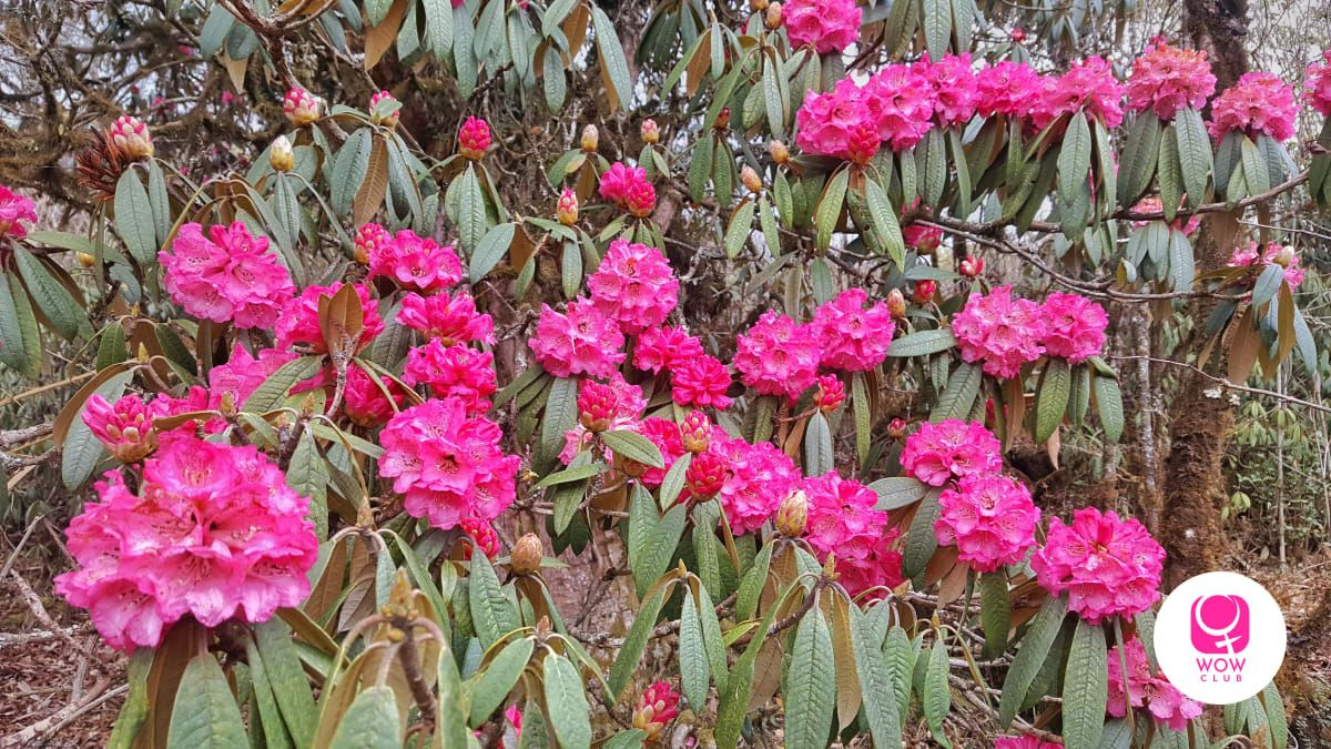 Fun Fact - Rhododendron juice is unusual and therapeutic. They make jam with it too.